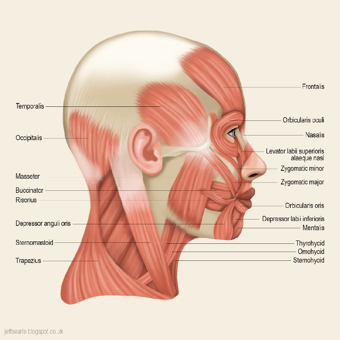 Diagram Of The Side Of Head And Neck - Basic Guide Wiring Diagram •